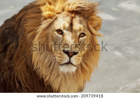 Eye to eye contact with a young Asian lion. King of beasts. Wild beauty of the biggest cat. The most dangerous and mighty predator of the world. Bright sunny portrait.
