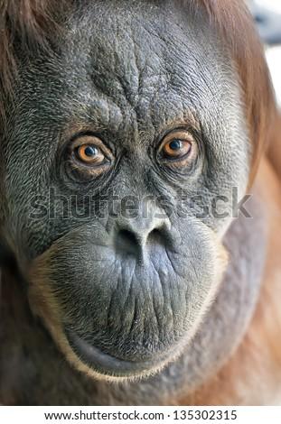 Eye to eye with an orangutan female. Animal close up portrait.