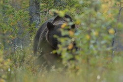 Eye to eye with brown bear. Brown bear peek from behind a bush. Confronted with a bear.