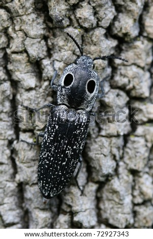 Eyed Click Beetle (Alaus oculatus) on tree bark