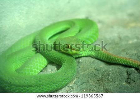 Eyed green pit viper snakes that are toxic litter is found in the forests.