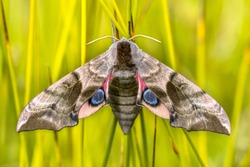 Eyed hawk-moth (Smerinthus ocellatus) is a European moth of the family Sphingidae.  The caterpillars feed on willow.