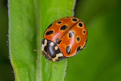 Eyed Ladybird (Anatis ocellata). Ladybug sitting on the plant. eyed ladybug. Anatis ocellata.
