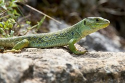 Eyed Lizard (also known as Ocellated Lizard or Jewelled Lizard, Timon lepidus) is IUCN Red Listed as near Theatened, Picos de Europa, Asturias, Spain.