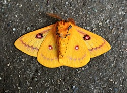 Eyed Silkmoth Close Up - Automeris Patagoniensis - Yellow Butterfly Moth Close Up