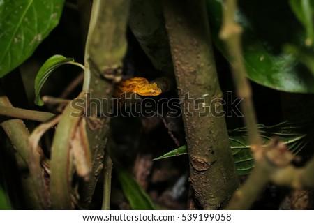 Eyelash Pitviper in Costa Rica hidden in a bush #539199058