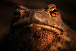 Eyes and mouth of spring toad. Portrait on a dark background. A closeup of the warty skin of a toad. Toad skin texture. Details of the muzzle of a toad