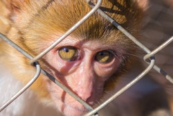 Eyes of a monkey in a cage.