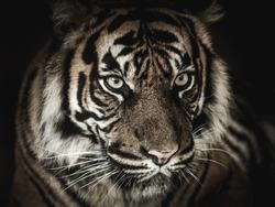 Eyes of a tiger, black background