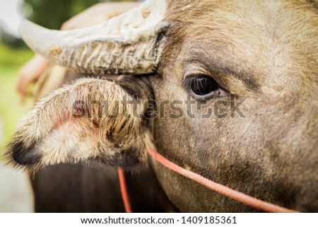 Eyes of Asian buffalo that farmers have been used in farming. Close up picture of Buffalo eye and face while working hard to help farmers for agriculture in Thailand.