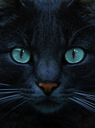 eyes of blue cat