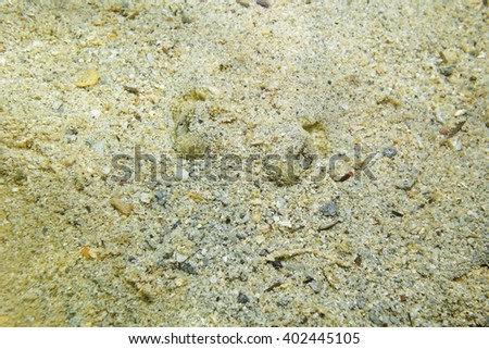 Eyes of Yellow stingray, Urobatis jamaicensis, with body hidden in the sand, Caribbean sea