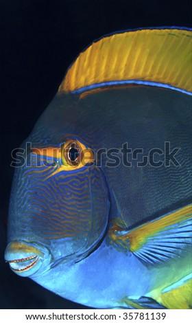 Eyestripe surgeonfish