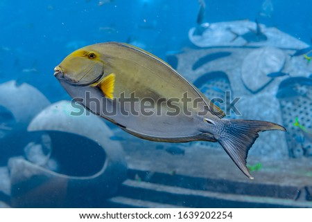 Eyestripe surgeonfish (Acanthurus xanthopterus) or yellowfin surgeonfish (Acanthurus dussumieri ) in the aquarium Atlantis, Sanya city, island Hainan, China.
