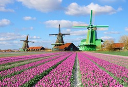 Fabulous landscape with tulips and aerial mill on the channel in Zaanse Schans, Holland on a background cloudy sky