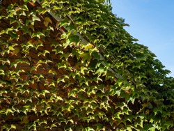 Facade of country house is decorated with beautiful leaves of Parthenocissus tricuspidata, Vitaceae, Boston ivy, grape ivy, Japanese ivy, Japanese liana. Sunny autumn day. Nature concept for design.