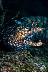 Face and Open Mouth of Dragon Moray Eel Underwater in Chiba, Japan