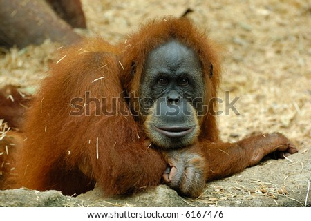 face and stare of thoughtful orangutan