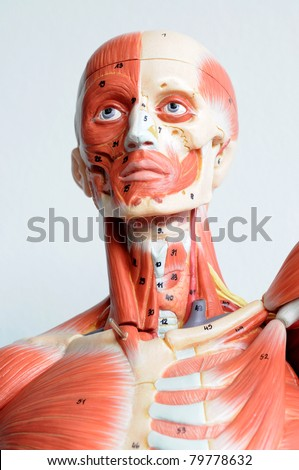 face human anatomy