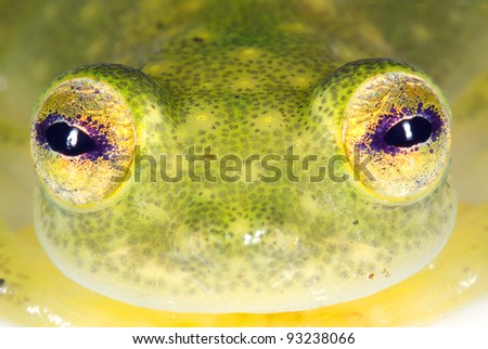 Face of a glass frog (Hyalinobatrachium sp.) from the Ecuadorian Amazon