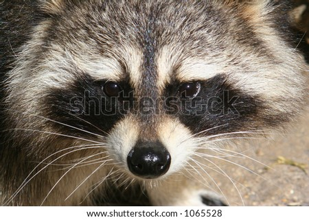 Face of a Raccoon