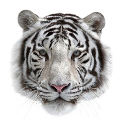 Face of a white bengal tiger, isolated on white background. Mask of the biggest cat. Wild beauty of the most dangerous and mighty beast.
