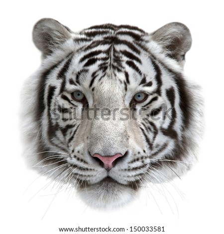 Face of a white bengal tiger, isolated on white background. Mask of the biggest cat. Wild beauty of the most dangerous and mighty beast. #150033581
