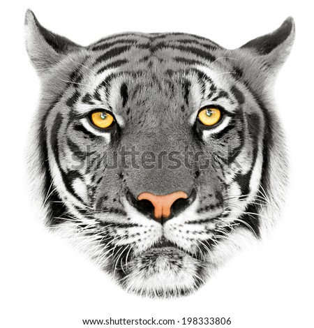 White bengal tiger, isolated on white background  Beautiful