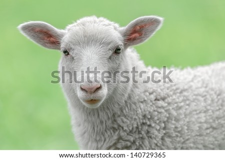 Face of a white lamb looking at you with bright green background #140729365