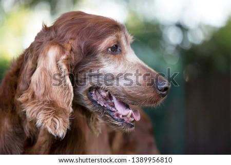 Face of an old beautiful Irish Setter pet dog as panting in summer #1389956810