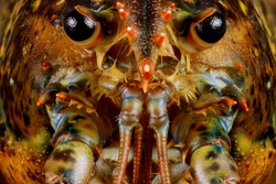 Face of cute live lobster with details. Macro shot.