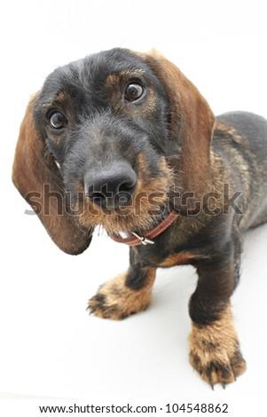 Face of Dachshund cross dog