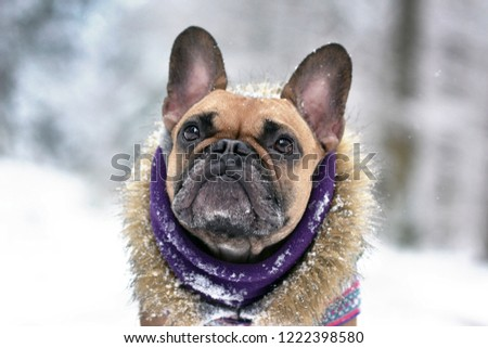 Face of fawn French Bulldog dog with winter scarf and fur coat in winter snow landscape #1222398580