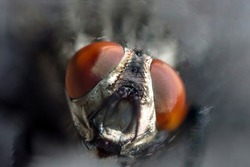 Face of fly with big red eyes in macro. Photo of insect with blurred background. Muzzle with  and hairs
