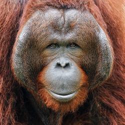 Face of orangutan.
