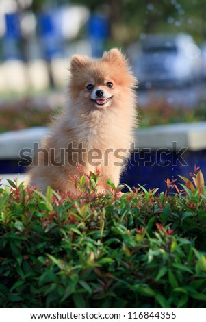 face of pomeranian dog in village home garden