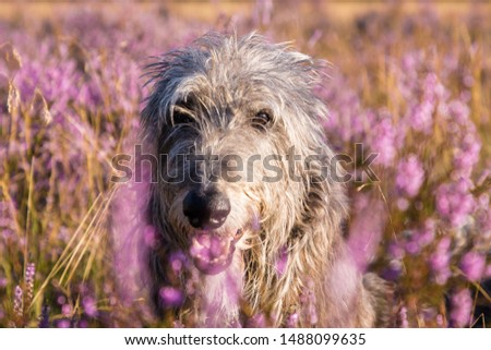 Face of Sir Henry Scottish Deerhound  #1488099635