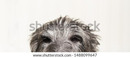 Face of Sir Henry Scottish Deerhound  #1488099647