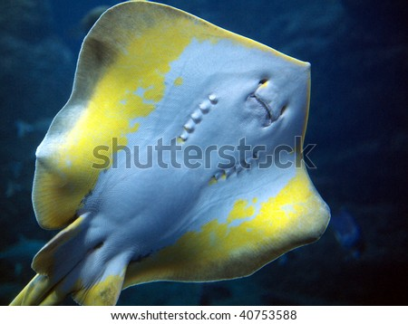 Face of stingray