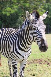 Face of striped African zebra.