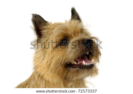 Face of sweet  happy dog, taken on a white background. The breed of the dog is a Cairn Terrier.