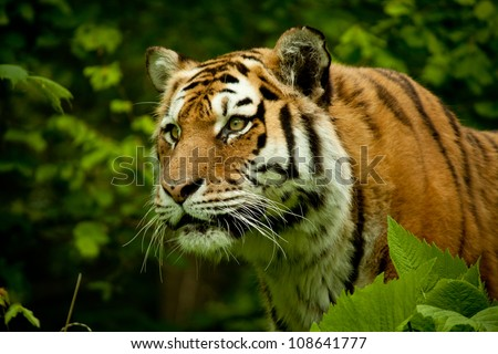 Face of tiger with high concentration, trees background
