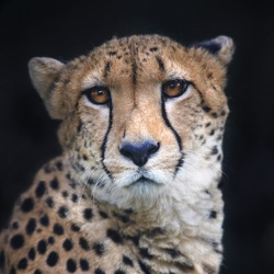 Face portrait of a chetah on black background. Wild beauty of a dangerous beast. Severe big cat with sad eyes