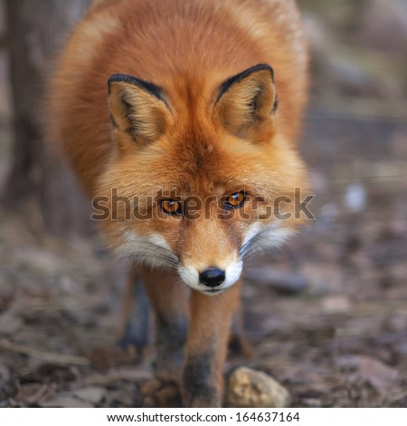 Face portrait of a red fox male in natural environment. The beautiful forest wild beast on blur background. Smart look of a dodgy vulpine. Eye to eye with one of the most grace wood inhabitant #164637164