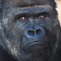 Face portrait of a silverback, gorilla male. Severe chief of the monkey family. Menacing look of a great ape
