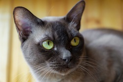 Face portrait of brown burmese cat with yellow eyes at a wooden balcony