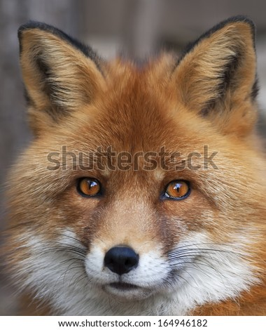 Face portrait of red fox male, vulpes vulpes. The head a beautiful forest wild beast. Smart look of a dodgy vulpes, skilled raptor and elegant animal. Cute and cuddly creature. #164946182