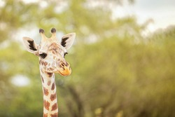Face portrait of south African giraffe mammal the tallest living terrestrial animal with extremely long neck and distinctive coat patterns attentively looking with big eyes. Horizontal image