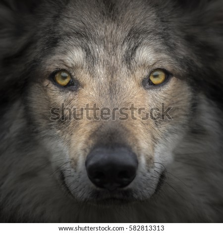 Face to face meeting with strong grey wolf staring head Canis lupus. Close up portrait of wolf head with gazing eyes. Creative detail photography scene of fairy tail animal with secret life in pack. #582813313