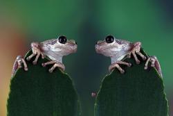 Face to face of australian little frog litoria rubella